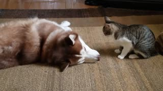 Adorable Cat Bullies Husky