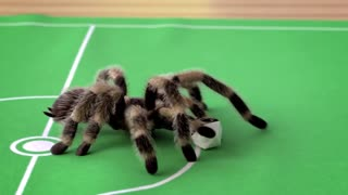 Football playing (spider)