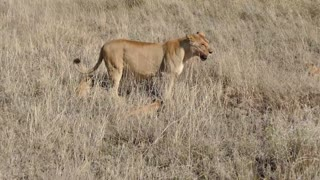 ADORABLE! FUNNY SIX LION CUBS enjoy their first outdoor adventure