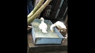 Couple Duck take Bathing Atrocities in Swimming pool...