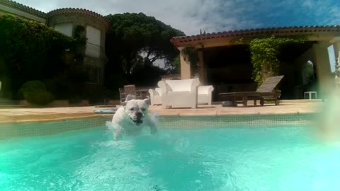 Bulldog Boris makes his own Pool Party Video