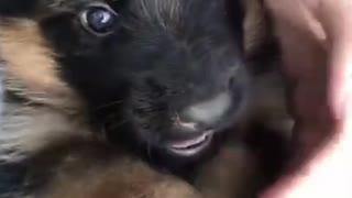 Cute German puppy