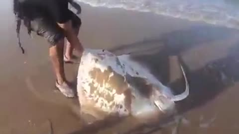 A man saves mother sting ray and his babies