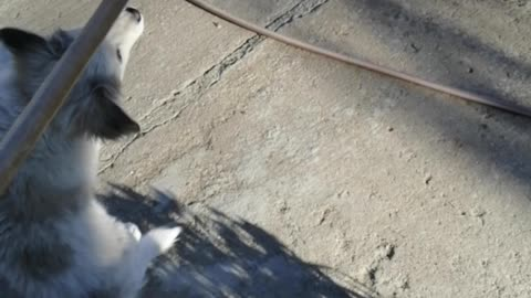 Little dog playing with broom