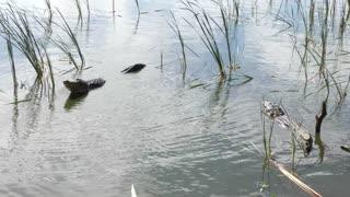 Large alligators growling during mating season