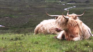 A rare breed of cow you never knew are groomed.