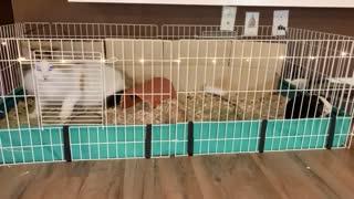 Cute cat and guinea pig