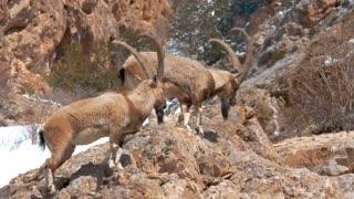 Mountain Goats Eating