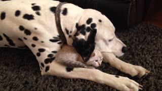 Caring Dalmatian snuggles with kitten