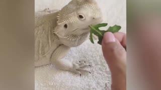 Giant Lizard Funny Meme Moment