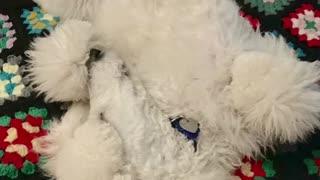 Pilot Standard Poodle Service Dog Song