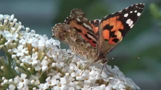 Butterfly & Butterfly