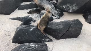 Baby Sea Lion Pup in Galapagos Islands