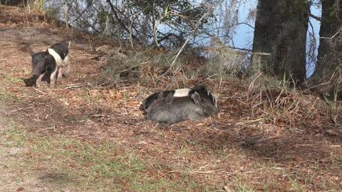 Wild piglets rest in Florida wetlands