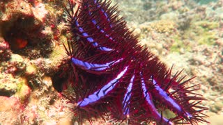 Close Up Footage of a Beautiful Crown of Thorns