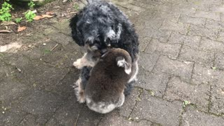 Baby Koala Mistakes Doggy For Its Mother