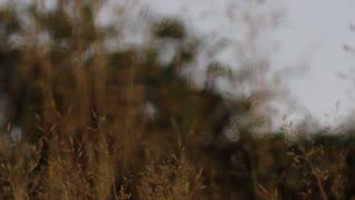Wheat grass evening