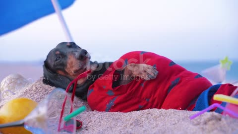 💗Cute fat dog black and tan, lies sunbathing at the beach sea on summer vacation holidays #09💗