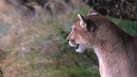 Patagonia Puma Call