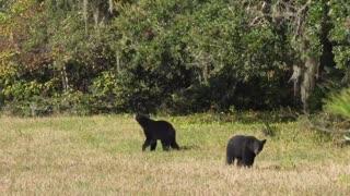 Who Said Bears Can't Jump?