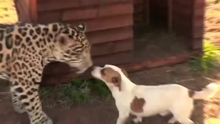 Jaguar plays with a dog as his family