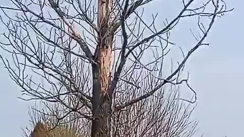 A nice sunny day and 71° F today. I cut down this DEAD & UNSAFE, 53 foot high tree.