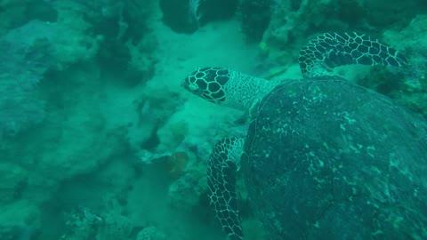 Hawksbill sea turtle in the Sea 4 - man & camera