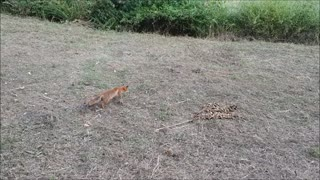 Mouse miraculously escapes jaws of death from fox