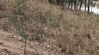 Overheated Baby Koala Cools off Amidst Heat Wave