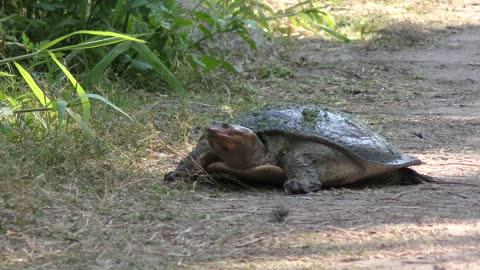 Florida Softshell Turtle walking
