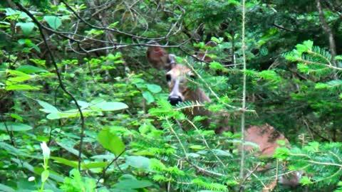 Spike Horn Buck