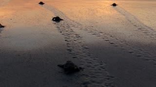Bale of Baby Sea Turtles Flap Towards the Ocean