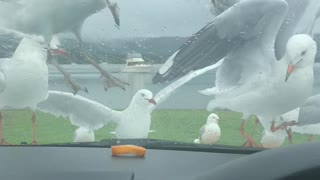 Silly Seagulls Swarm for Snack
