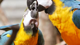 two parrots playing together