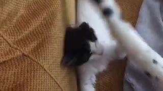 Small white kitten trying to catch big white cats tail