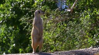 attention meerkat