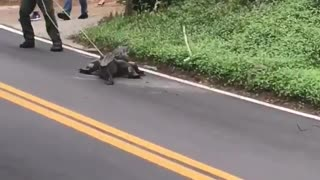 Alligator Tries to Evade Capture