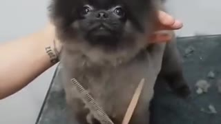 How to get a dog haircut with so much fun