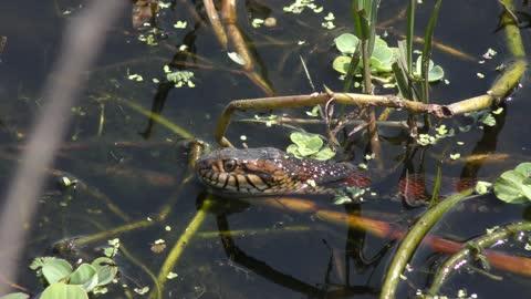 banded water snake in Florida wetlands