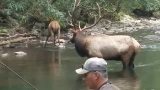 Elk Share Stream with Fisherman