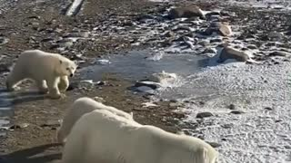 Arriving at the Polar Bears in Northern Canada!