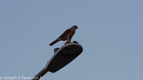 Coopers Hawk 21