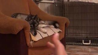 Pew Pew Makes Dog Jump