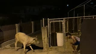 Big Scare Causes Cow to Slip
