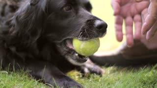 A dog chews a tennis ball