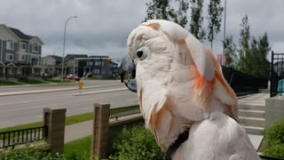 Identity crisis: Cockatoo thinks he is a chicken