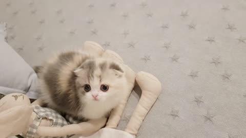 cute kitten videos short leg cat- KimsKennelUS1
