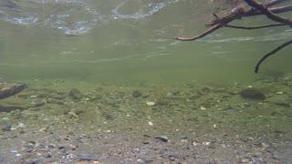 SALMON FISH UNDERWATER
