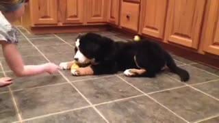 Puppy's adorable reaction to the dreaded lemon