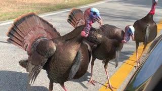 Wild Turkeys Tag Team Corvette